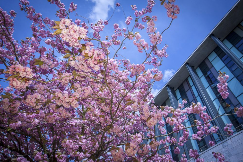 Blossom on a tree outside the Marine Building